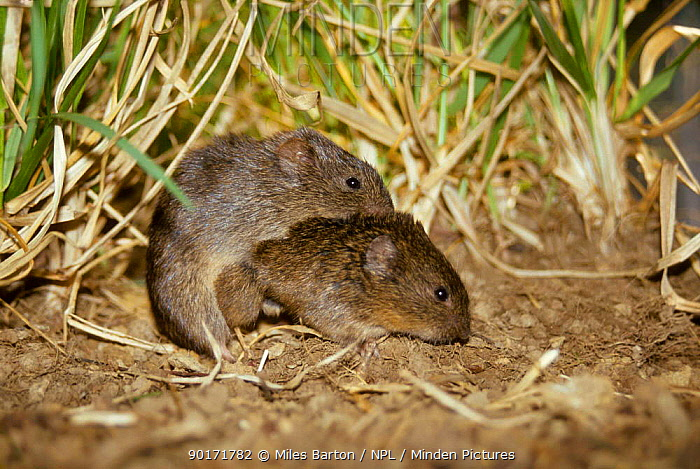 Prairie voles mating (Microtus ochrogaster) captive After mating for up to 40 hours both  -  Miles Barton/ npl