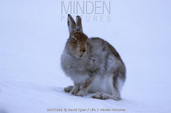 Mountain hare on snow (Lepus timidus) Scotland UK  -  David Kjaer/ npl