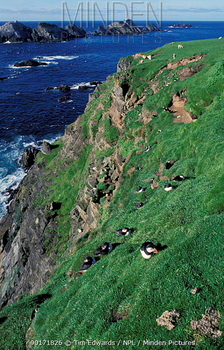 Puffin colony with burrows (Fratercula arctica) Shetland Scotland UK  -  Tim Edwards/ npl