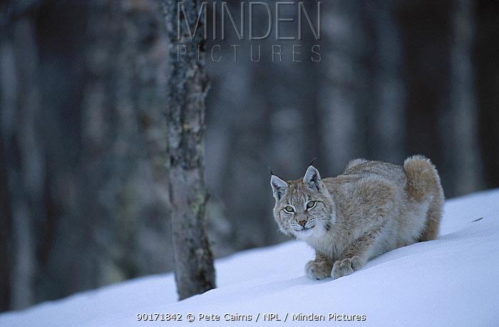 European lynx in birch forest in snow (Lynx lynx) captive Norway  -  Pete Cairns/ npl