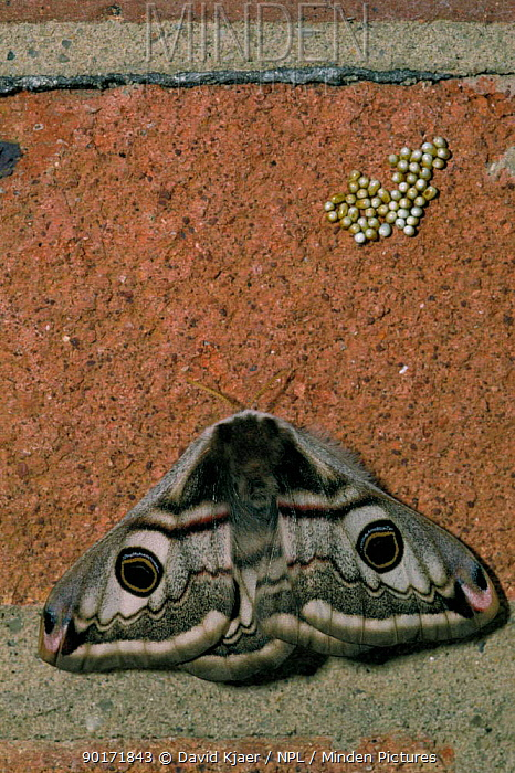 Emperor moth female with eggs laid on wall (Saturnia pavonia) Wiltshire, UK  -  David Kjaer/ npl