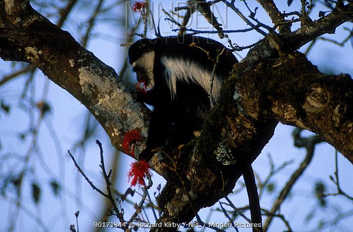 Black and white colobus monkey feeding on flowers in tree (Colobus guereza) Kibale Uganda  -  Richard Kirby/ npl