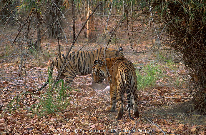 Bengal tigers dispute over prey (Panthera tigris tigris) Bandhavgarh NP India Seq 2, 7  -  E.A. Kuttapan/ npl