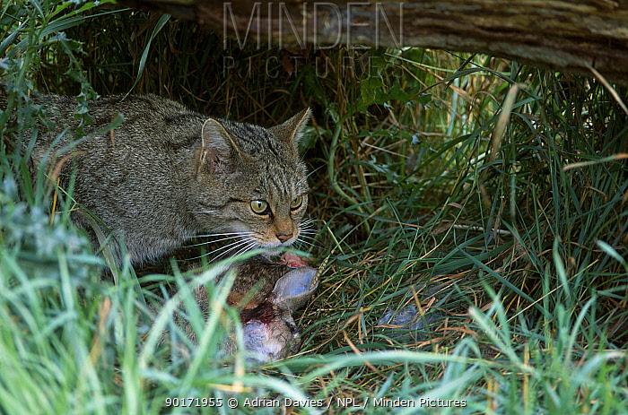 Wild cat with rabbit prey (Felis silvestris) Scotland UK  -  Adrian Davies/ npl