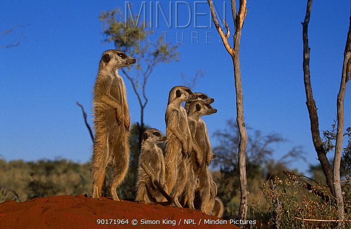 Meerkat family warming up in sun (Suricata suricatta) Tswalu Kalahari Reserve South Africa  -  Simon King/ npl