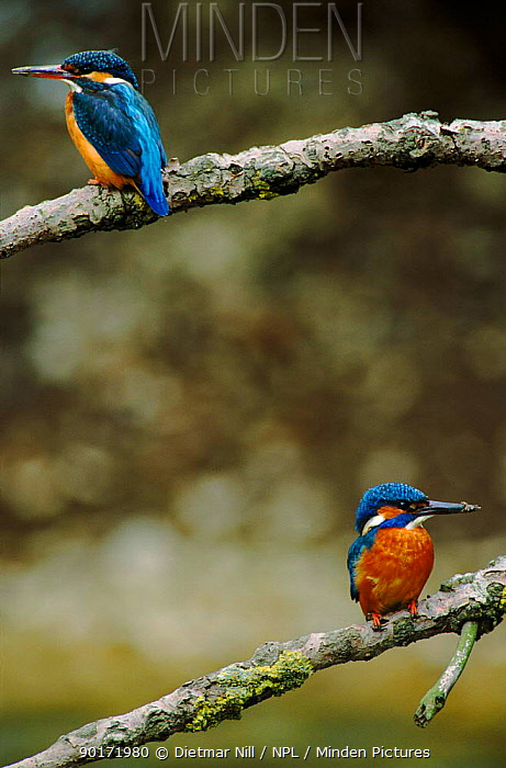 Pair of kingfishers perched on branch, Germany  -  Dietmar Nill/ npl