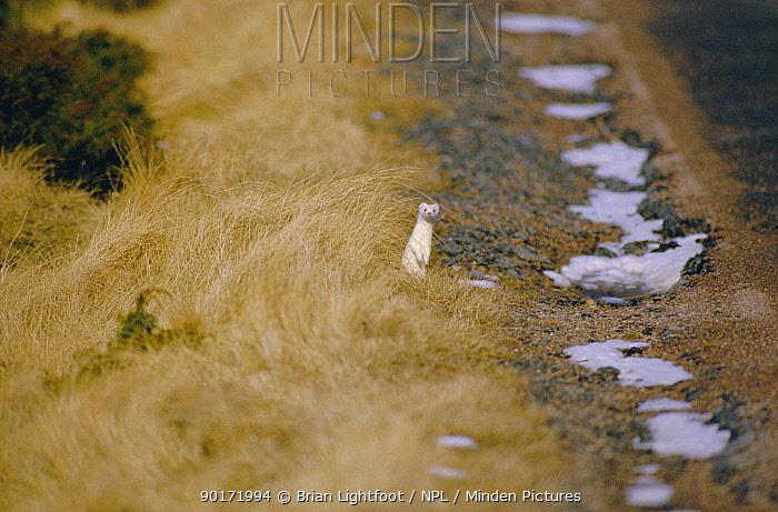 Stoat in winter coat (Mustela erminea) Scotland  -  Brian Lightfoot/ npl