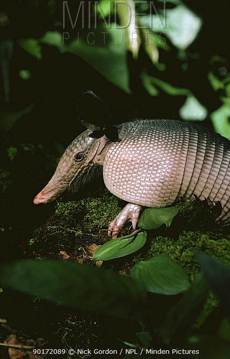 Nine banded armadillo (Dasyspus novemcinctus), Brazil, South America  -  Nick Gordon/ npl