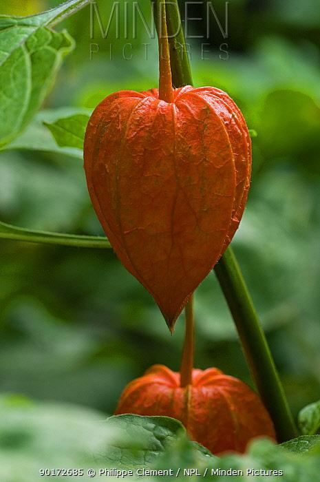Chinese Lantern or Bladder-cherry (Physalis alkekengi) garden, Belgium, naturally occurs in Japan  -  Philippe Clement/ npl