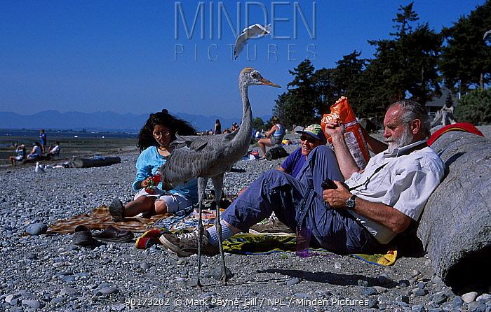 Hand reared Sandhill crane chick (Grus canadensis) on beach Vancouver Canada British  -  Mark Payne-Gill/ npl