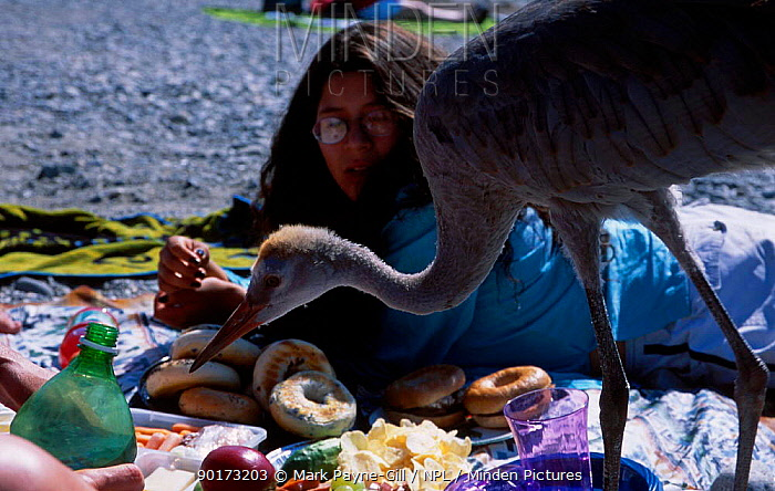 Hand reared Sandhill crane chick (Grus canadensis) feeds on beach Vancouver Canada British  -  Mark Payne-Gill/ npl