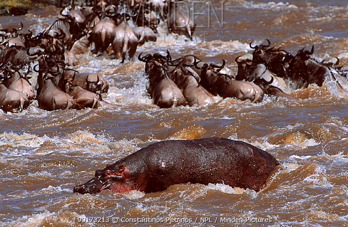 Hippopotamus defs territory as Wildebeest cross Mara river Masai mara Kenya (Hippopotamus  -  Constantinos Petrinos/ npl