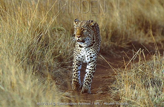 Female Leopard on track in savanna (Panthera pardus) Masai Mara Kenya Zawadi daughter of  -  Constantinos Petrinos/ npl