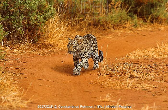 Leopard on track in savanna (Panthera pardus) Samburu NR Kenya  -  Constantinos Petrinos/ npl