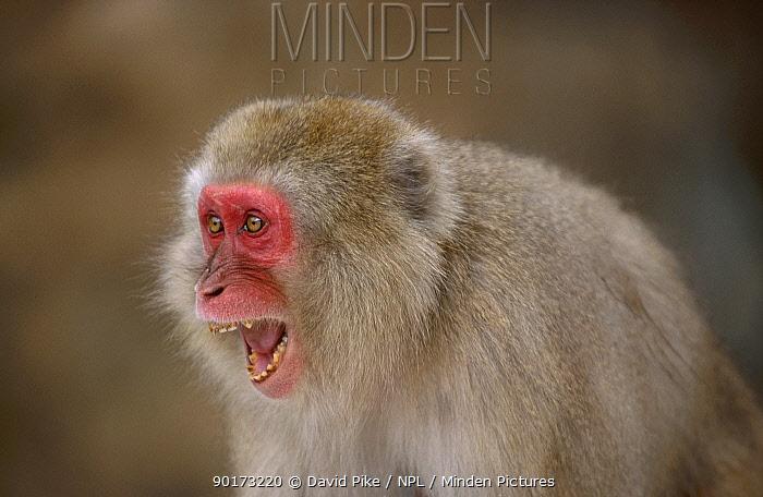 Japanese macaque threat facial expression (Macaca fuscata) Jigokudani Japan  -  David Pike/ npl