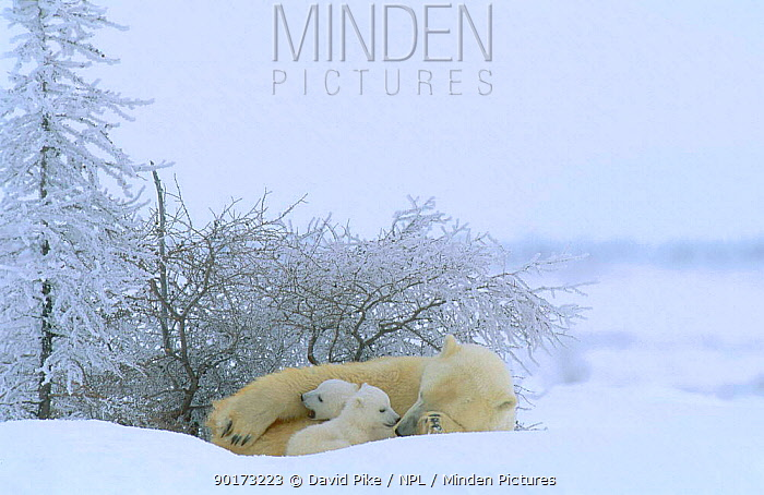 Polar bear at rest with very small cubs (Ursus maritimus) Watchee lodge area Canada  -  David Pike/ npl