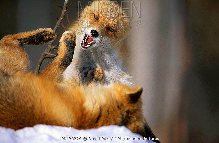 Northern Red foxes fighting C in snow (Vulpes vulpes schrencki) Tsurui Mura Japan  -  David Pike/ npl