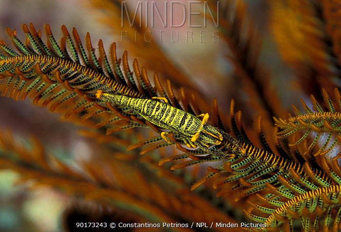 Crinoid shrimp (Periclimenes amboienensis) on featherstar commensal Sulawesi, Indonesia  -  Constantinos Petrinos/ npl