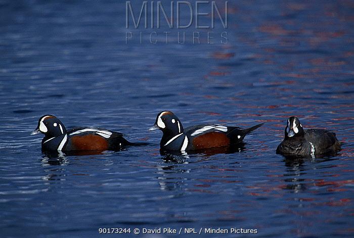 Harlequin ducks (Histrionicus histrionicus) Shiretoko peninsula Japan  -  David Pike/ npl