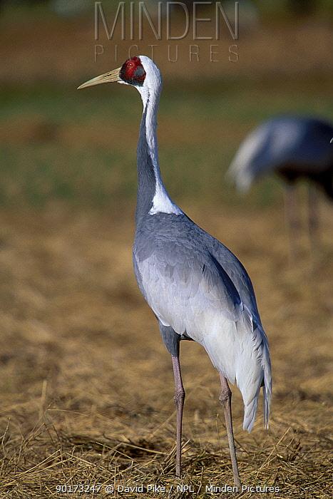 White-naped crane (Grus vipio) Arasaki Japan  -  David Pike/ npl