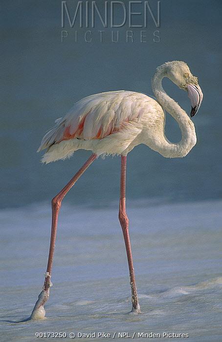 Greater flamingo (Phoenicoptera ruber) Ngorongoro crater Tanzania  -  David Pike/ npl