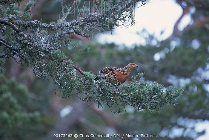 Capercaillie female in Scots pine tree (Tetrao urogallus) Scotland, UK  -  Chris Gomersall/ npl