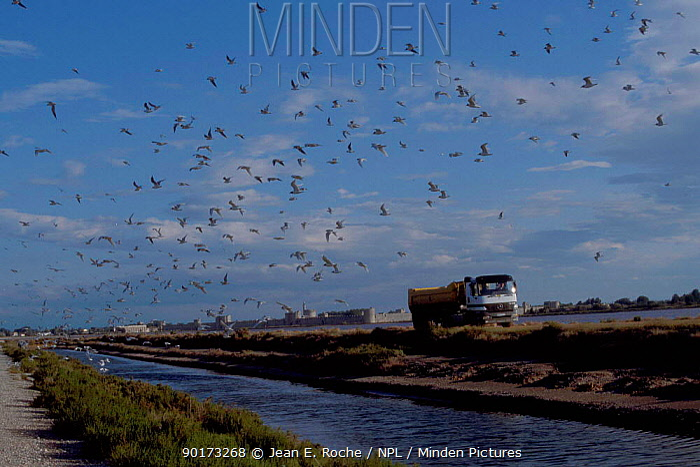 Lorry disturbs breeding seagull colony Aigues Mortes Camargue France  -  Jean E. Roche/ npl