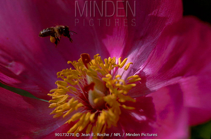 Honey bee with pollen sac (Apis mellifera) flying to (Paeonia corallina) flower France  -  Jean E. Roche/ npl