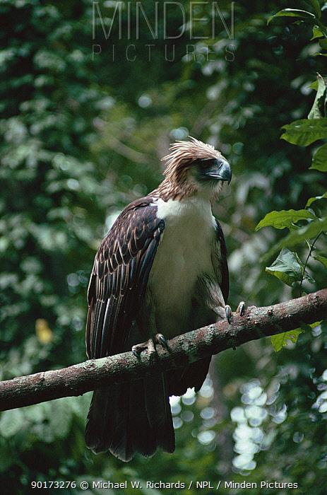 Monkey eating eagle perched (Pithecophaga jefferyi) rainforest, Philippines  -  Michael W. Richards/ npl