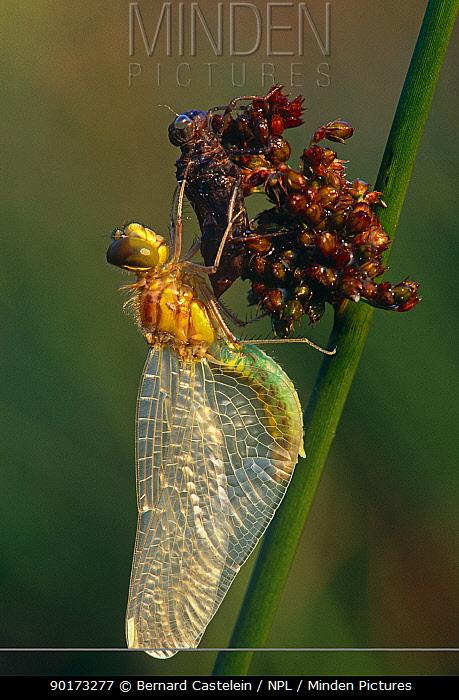 Black sympetrum dragonfly newly emerged from skin of subadult (Sympetrum danae) Kalmthoutse Heide, Belgium  -  Bernard Castelein/ npl