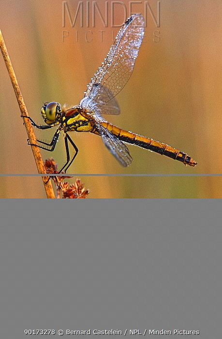 Black sympetrum dragonfly, female (sympetrum danae) Kalmthoutse Heide, Belgium  -  Bernard Castelein/ npl
