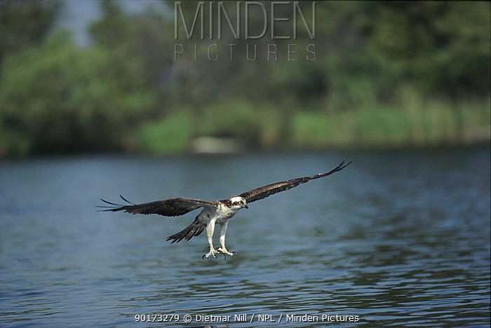 Osprey about to catch fish, Sweden  -  Dietmar Nill/ npl
