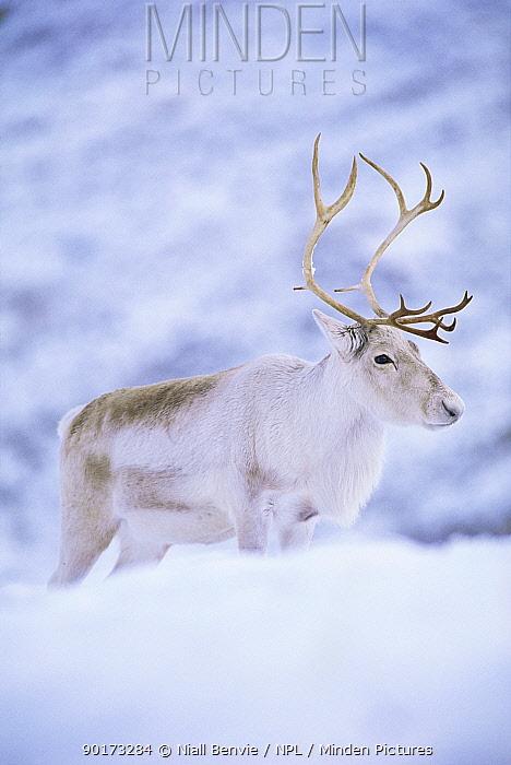 Reindeer stag in winter snow (Rangifer tarandus) from domesticated herd, Scotland, UK  -  Niall Benvie/ npl