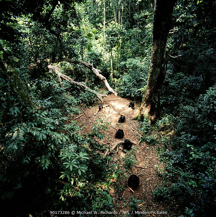 Chimpanzee troupe nut cracking in rainforest clearing (Pan troglodytes) Tai Forest, Ivory Coast, Africa  -  Michael W. Richards/ npl