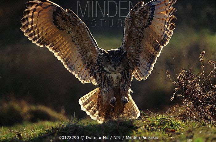 Eagle owl (Bubo bubo) landing Germany, Europe  -  Dietmar Nill/ npl