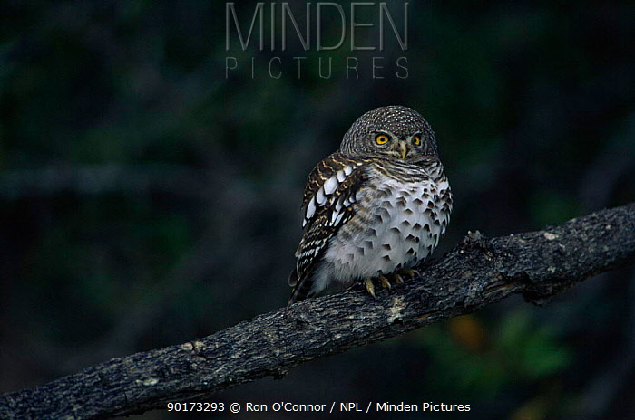 Pearl spotted owl (Glaucidium perlatum) perching on branch, Kruger NP, South Africa  -  Ron O'Connor/ npl