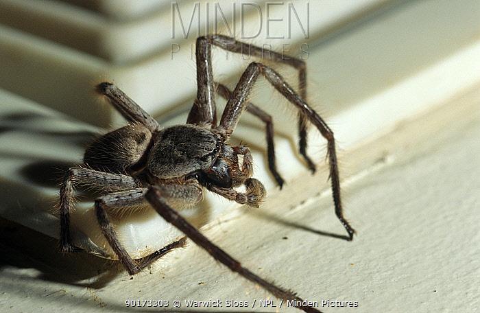 Huntsman spider in house (Heteropoda venatoria) Melbourne, Australia  -  Warwick Sloss/ npl