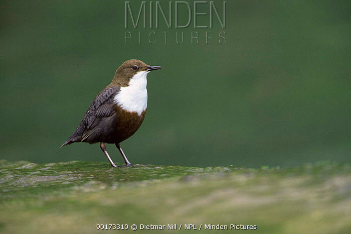 Dipper perched near water (Cinclus cinclus) Germany  -  Dietmar Nill/ npl
