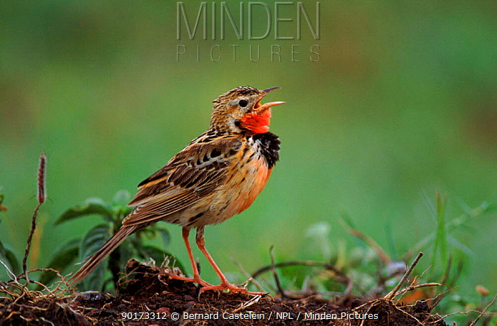 Rosy breasted longclaw singing, Ngorongoro crater, Tanzania  -  Bernard Castelein/ npl