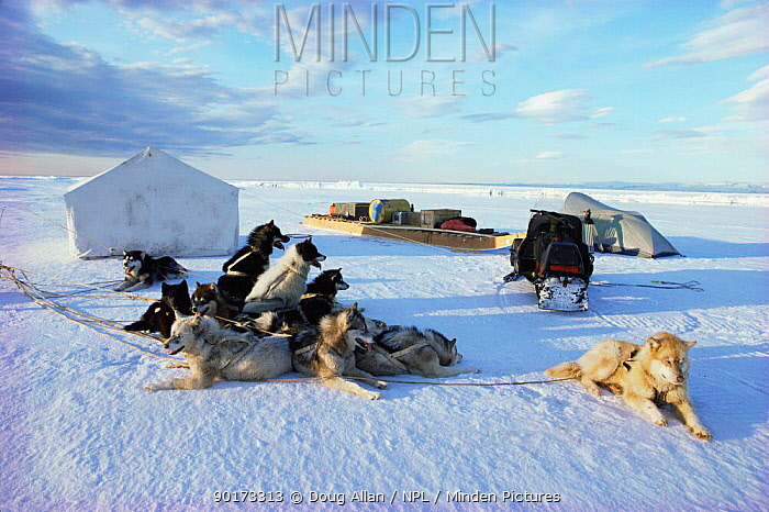 Husky doy team at campsite on sea ice, Lancaster Sound, Canadian Arctic  -  Doug Allan/ npl
