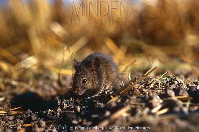 House mouse foraging (Mus musculus) Sweden  -  Bengt Lundberg/ npl