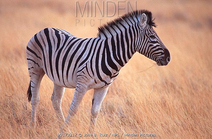 Common zebra (Equus burchelli) Etosha NP, Namibia, Southern Africa  -  Jose B. Ruiz/ npl