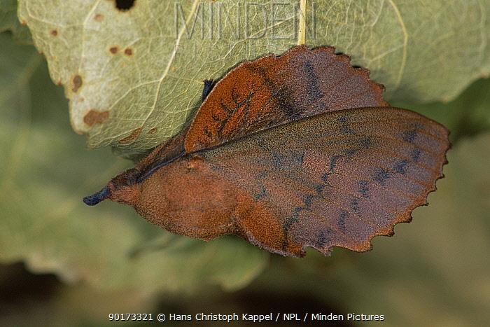 Lappet moth (Gastropacha quercifolia) mimics leaf, Germany  -  Hans Christoph Kappel/ npl