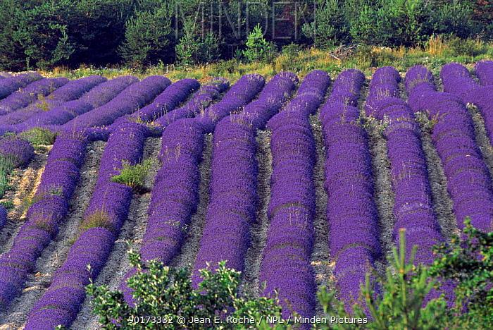 Lavender field in flower, Col St John, Buech, Provence, France  -  Jean E. Roche/ npl
