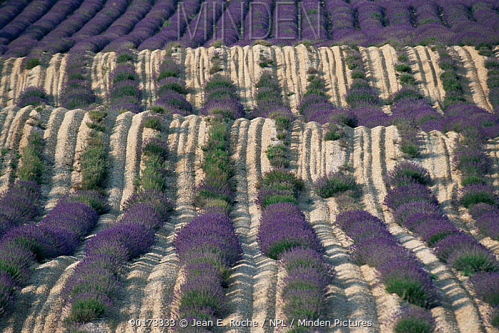 Lavender field coming into flower, Col St John, Buech, Provence, France  -  Jean E. Roche/ npl