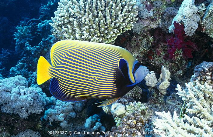 Emperor Angelfish (Pomecanthus Imperator) Red Sea, Egypt  -  Constantinos Petrinos/ npl