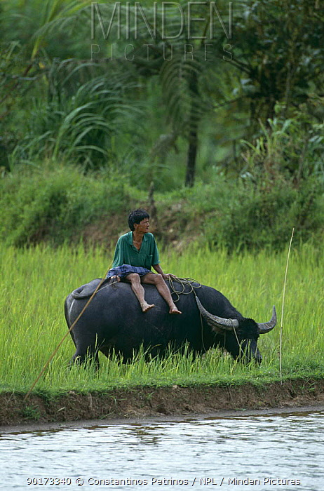 Farmer sitting on Water buffalo (Bubalus arnee) in rice field, Central Sulawesi, Indonesia 2000  -  Constantinos Petrinos/ npl
