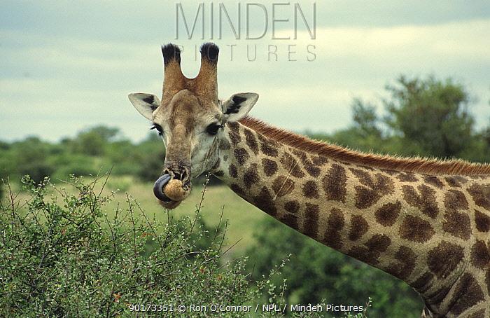 Giraffe feeding (Giraffe camelopardalis] Southern Africa  -  Ron O'Connor/ npl