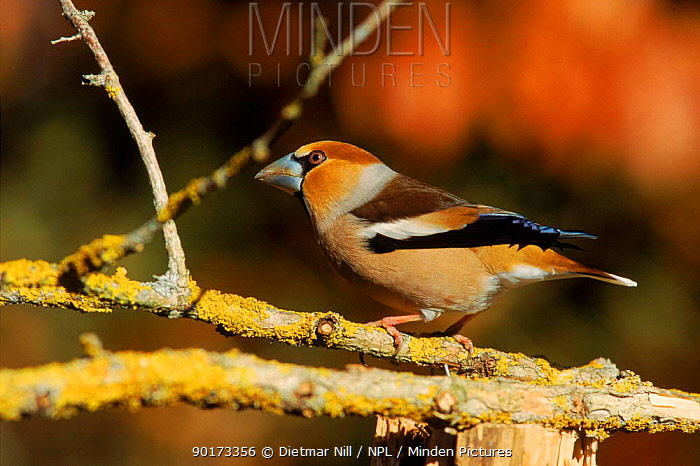 Hawfinch on branch (Coccothraustes coccothraustes),  -  Dietmar Nill/ npl