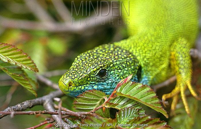 Green lizard portrait (Lacerta viridis) Croatia  -  Tony Phelps/ npl